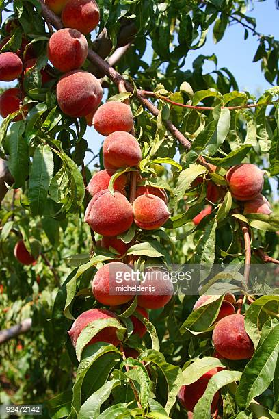 ripe peaches - peach tree stock pictures, royalty-free photos & images