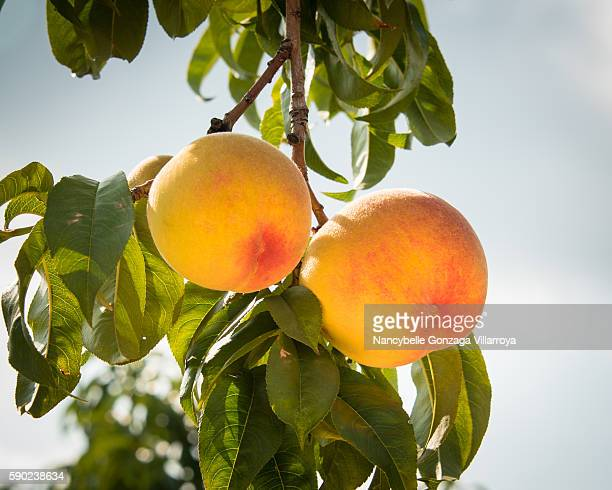 Ripe Peaches still on a branch at Niagara on the Lake