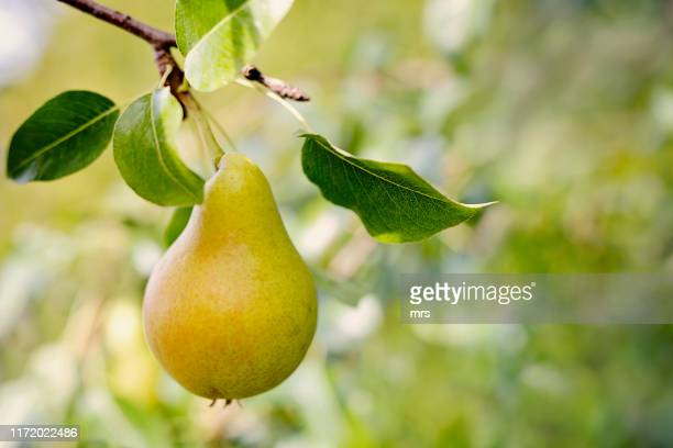 ripe pear on a tree - fruit tree stock pictures, royalty-free photos & images