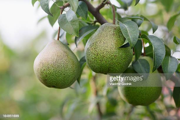 Ripe pears hanging from the branch of a pear tree