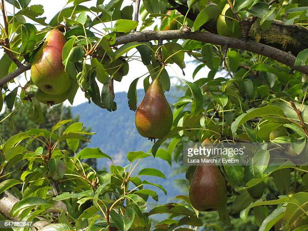 Ripe Pears Hanging On Branch Of Pear Tree