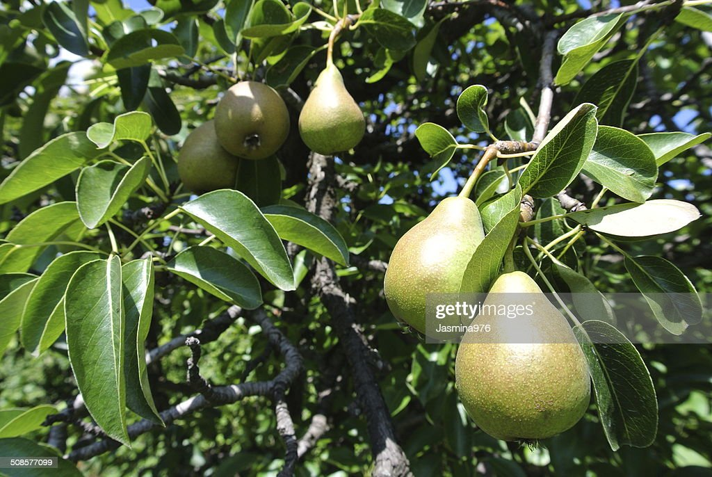 Ripe pears on a tree : Stock Photo