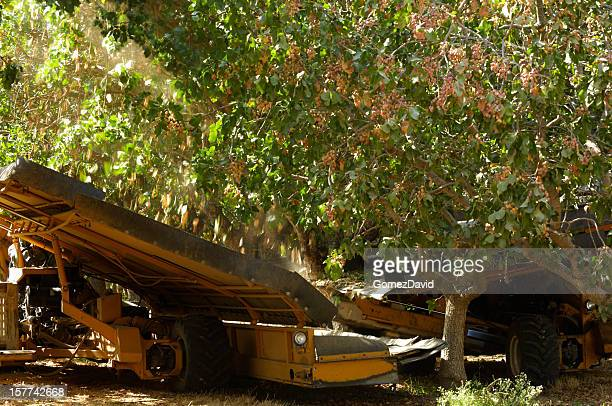 ripe pistachio being harvested - pistachio tree stock photos and pictures
