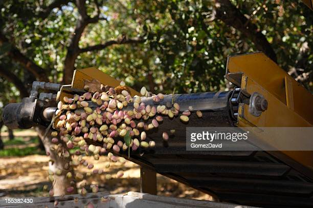 Ripe Pistachio Being Harvested With a Mechanical Shaker
