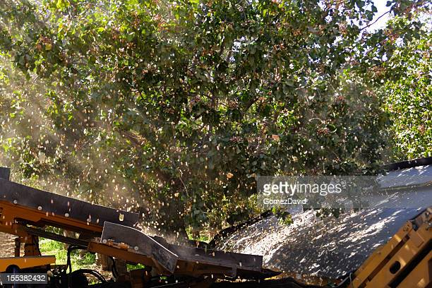 ripe pistachio being harvested with a mechanical shaker - pistachio tree stock photos and pictures
