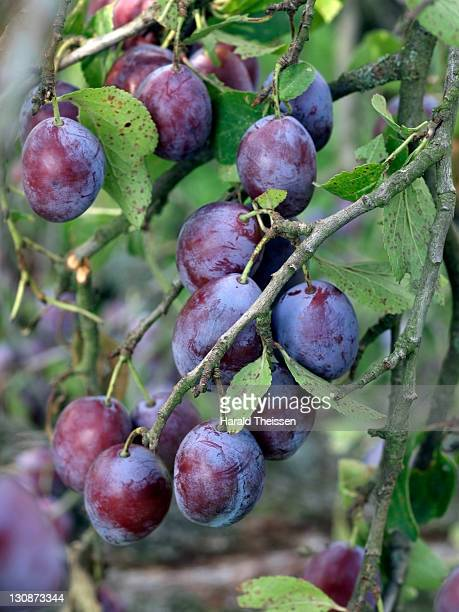 Ripe plums hanging on a branch of tree