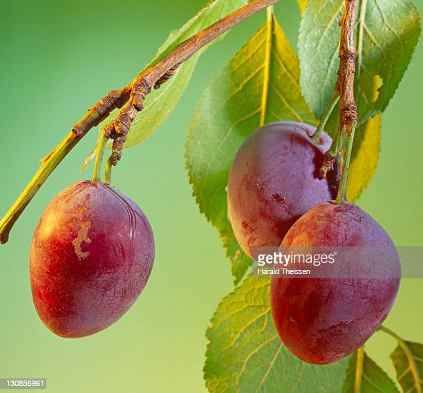 ripe plums hanging on a branch