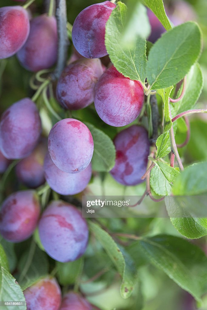 Ripe plums : Stock Photo