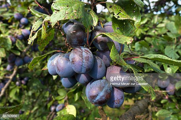 Ripe plums -Prunus domestica subsp. domestica- on branch, Bavaria, Germany