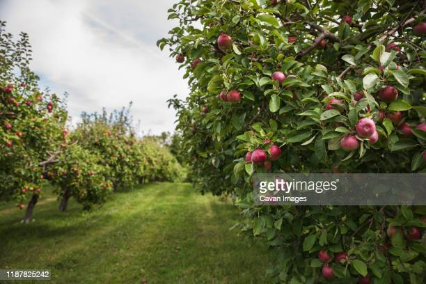 ripe red apples on an apple tree in an apple orchard. - apple harvest stock pictures, royalty-free photos & images