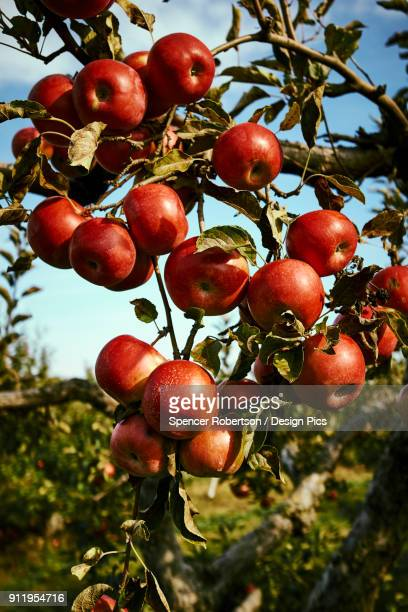 Ripe, Red Apples On An Apple Tree In An Orchard