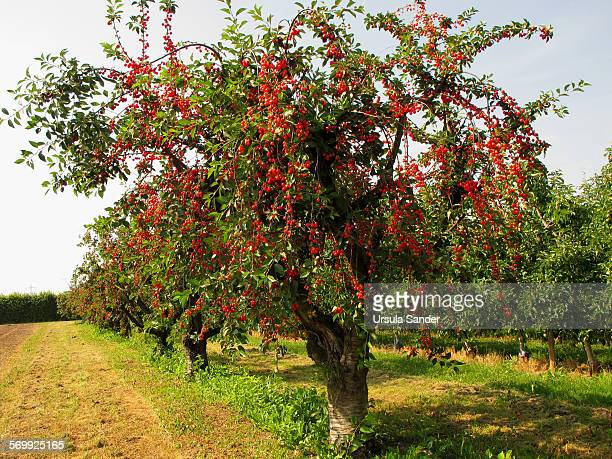 Ripe red cherries on cultivated cherry trees