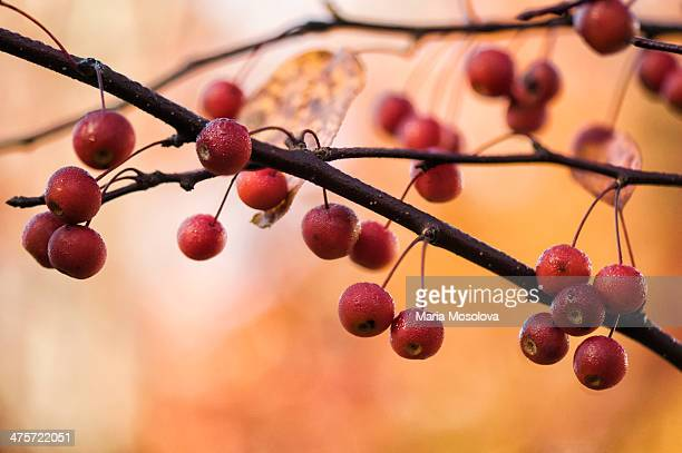 Ripe Red Crabapples Hanging on a Tree