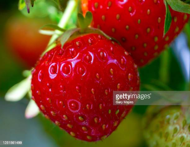 ripe red strawberry closeup - strawberry stock pictures, royalty-free photos & images