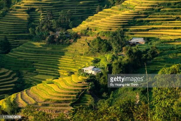 ripe rice season in hoang su phi 2019 - terrassenfeld stock-fotos und bilder