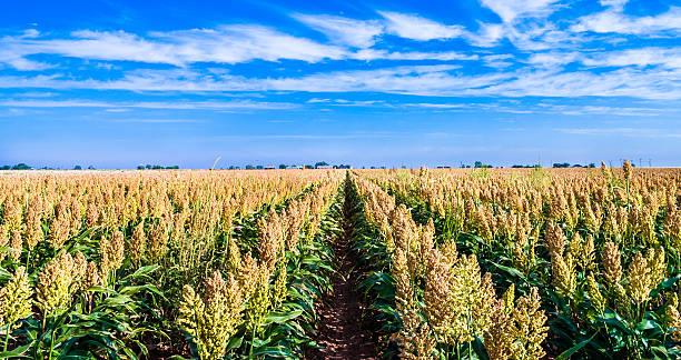 maduro sorgo milo campo de cultivo de mijo en filas - sorgo fotografías e imágenes de stock