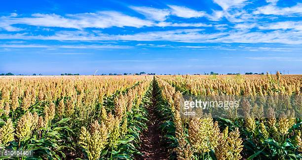 ripe sorghum milo millet crop field in rows - millet stock pictures, royalty-free photos & images