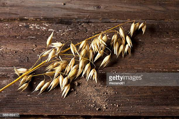 Ripe spike of oat, Avena, on wood