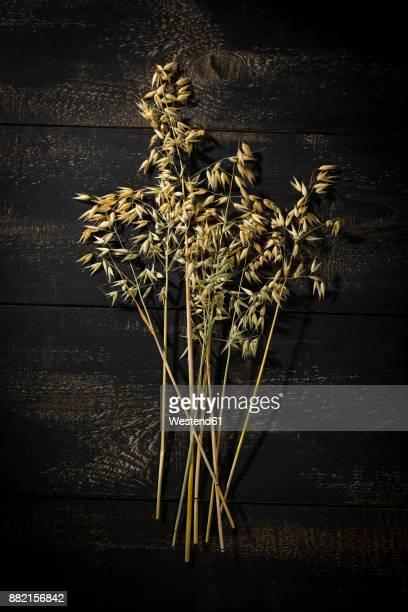 Ripe spike of oat on dark wood
