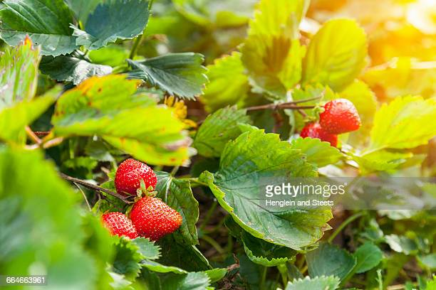 Ripe strawberries and strawberry plant in garden