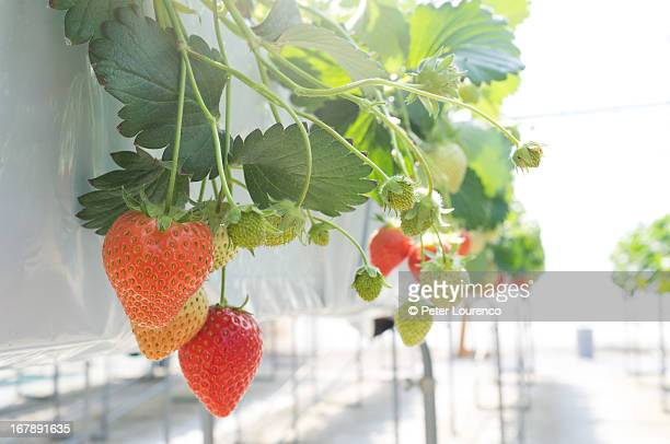 ripe strawberries growing in the sun - peter lourenco ストックフォトと画像