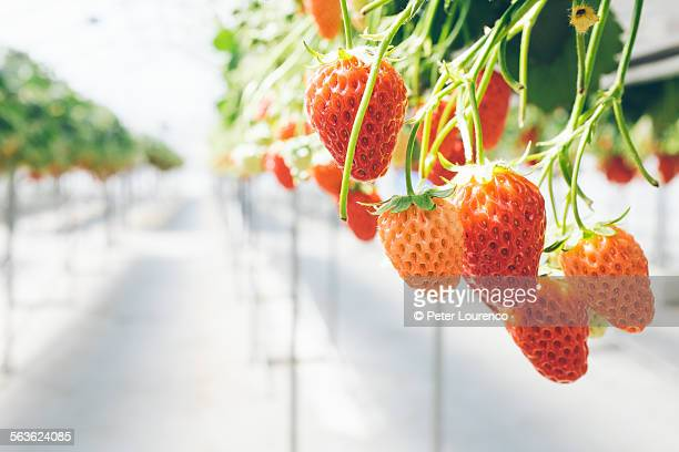 ripe strawberries - peter lourenco stock pictures, royalty-free photos & images