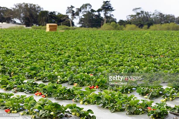 Ripe Strawberrys Ready for Harvest