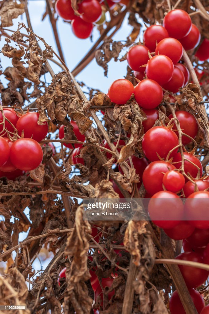 Ripe Tomato : Stock Photo