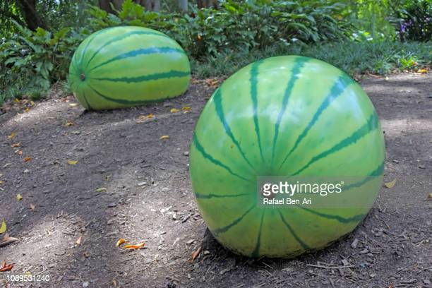 Ripe Watermelon Growing in a Garden