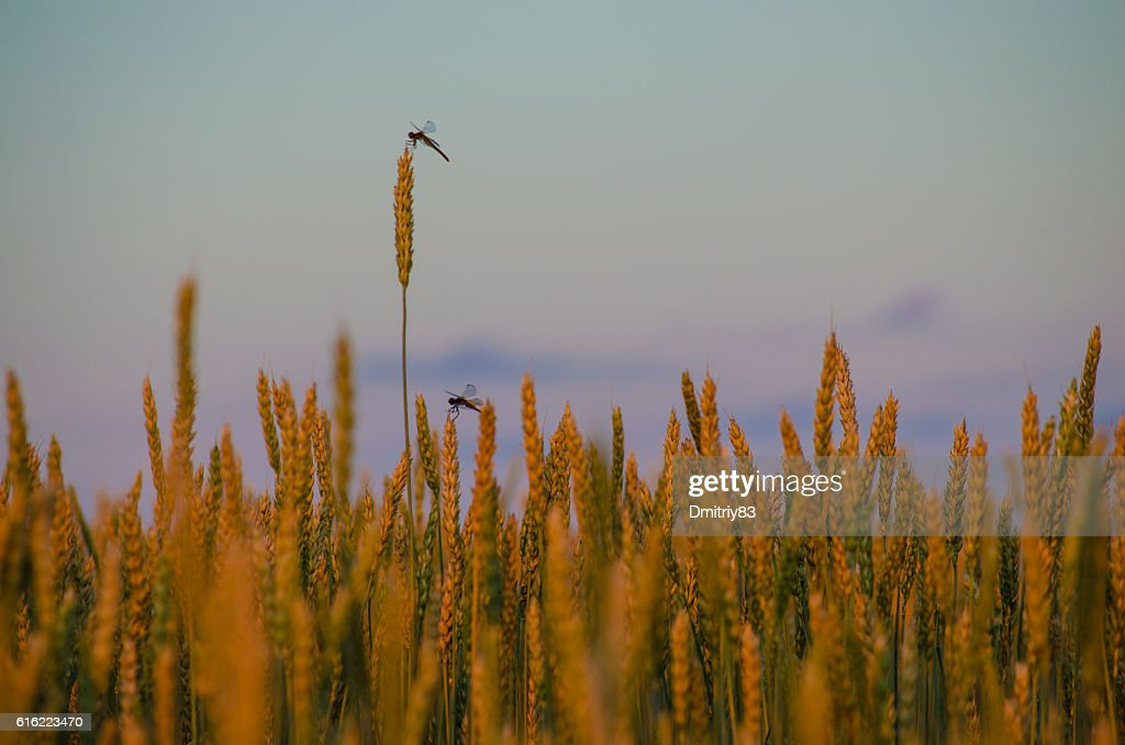 Ripe wheat close-up. : Stock-Foto
