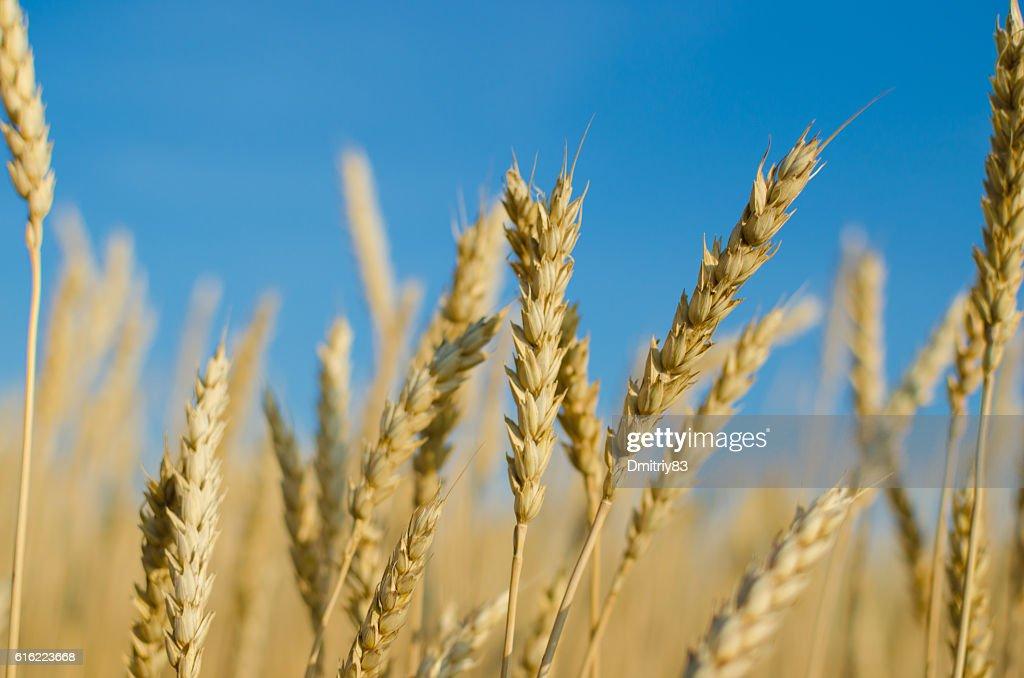 Ripe wheat close-up. : Stock-Foto