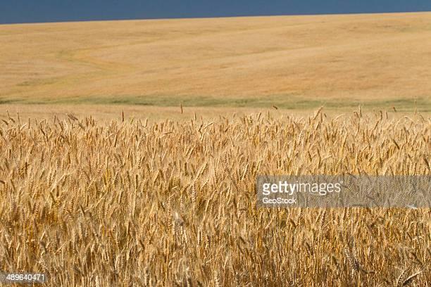 Ripe wheat field in late summer