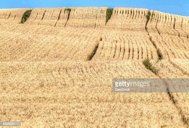 A ripe wheat field
