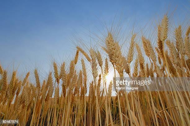 Ripe Wheat field with sun and sunbeams.