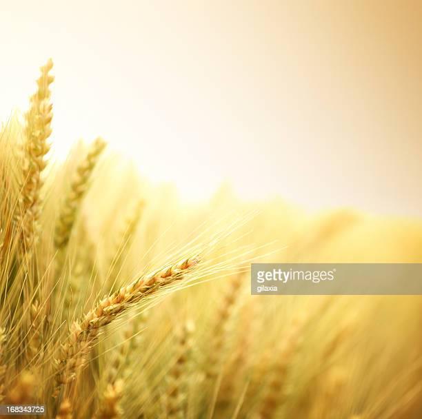 Ripe wheat in a field.