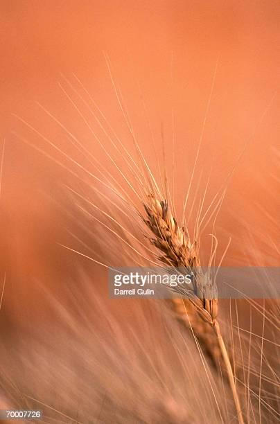 Ripe wheat in field, close-up