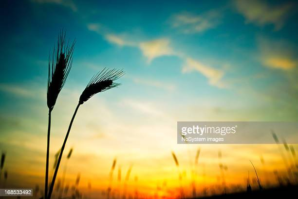 Ripe wheat in field in foreground with yellow sunset behind