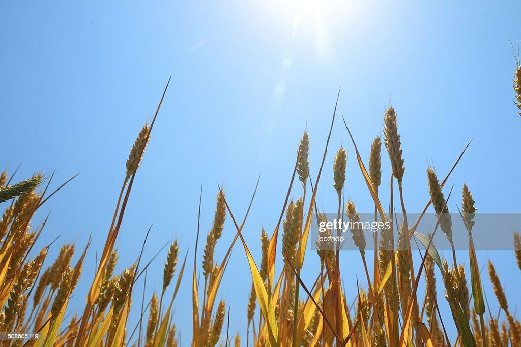 Trigo maduro bajo cielo azul y el sol. : Foto de stock
