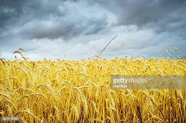 Reife wheatfield unter stürmischen Himmel