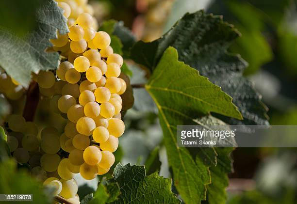 ripe wine grapes - chardonnay grape stock photos and pictures