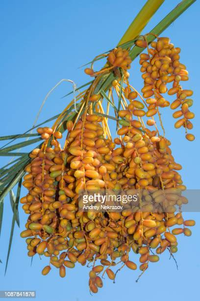 ripe yellow fruits dates on date palm (phoenix dactylifera), egypt - date palm tree stock pictures, royalty-free photos & images