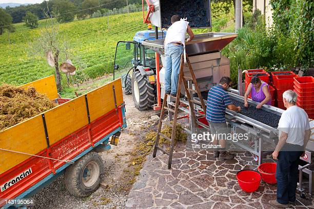Ripened Brunello grapes Sangiovese being harvested at the wine estate of La Fornace at Montalcino in Val D'Orcia Tuscany Italy