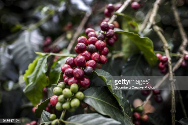 Ripened coffee cherries sit on the branch of a coffee tree