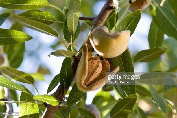 Ripening Almonds on Tree