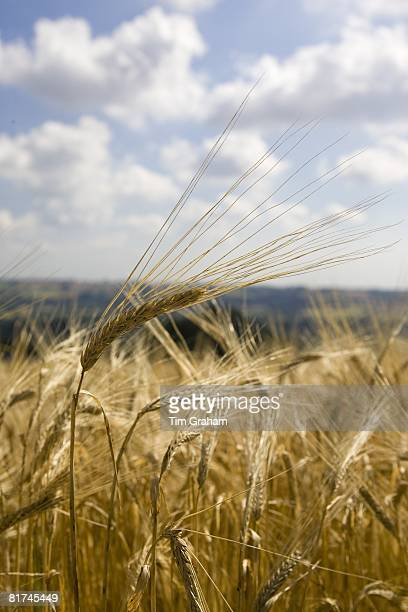 Ripening barley Bourton on the Water The Cotswolds Gloucetershire United Kingdom