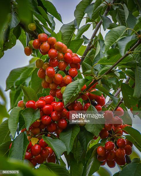 ripening clusters of cherries on fruit laden tree - fruit laden trees stock pictures, royalty-free photos & images