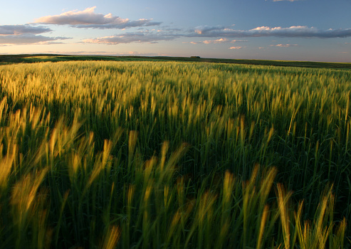 Ripening Green Wheat Field on the Great Plains 182050855