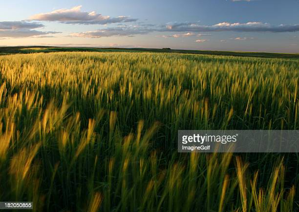 Ripening Green Wheat Field on the Great Plains