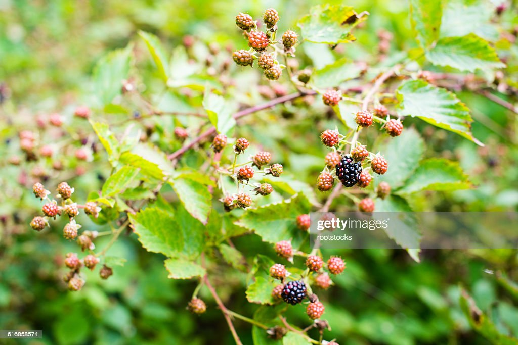 Ripening of the blackberries : Stock Photo