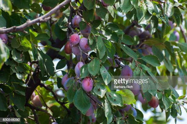 Ripening prunes in a California prune orchard